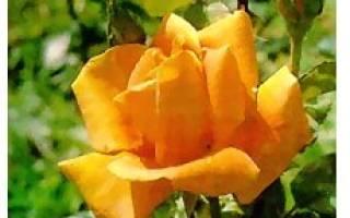 Розы плетистые фото с названием сорта