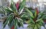 Выращиваем комнатный цветок строманта правила ухода и виды