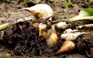 На какую глубину сажать луковицы тюльпанов