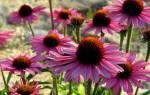 Эхинацея растение выращивание