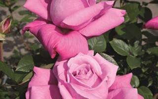 Роза чайногибридная dark desire™ parfuma®