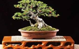 Бонсаи из фикуса бенджамина уменьшение размера листьев