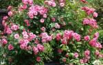 Роза patte de velours