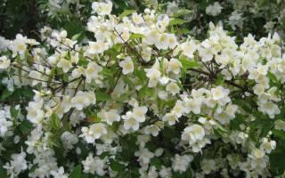 Что такое жасмин садовый или кустарник жасмин
