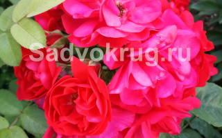 Уход за садовыми розами осенью обрезание