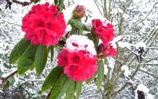 Азалия рози лайтс