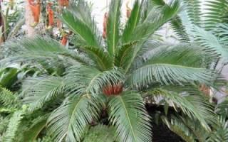 Домашняя пальма цикас описание