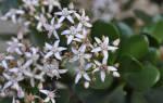 Как выглядит и как цветет денежное дерево толстянка