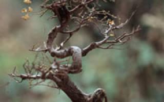 Бонсаи carmona опадают листья что делать