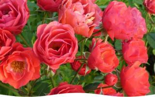Роза с черенка выращивание розы в домашних условиях