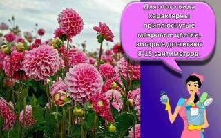 Посадка и уход за георгинами советы по выращиванию от цветовода
