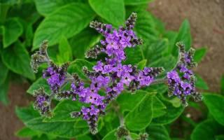 Цветок гелиотроп описание, уход за растением