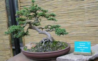 Деревья для бонсай виды и особенности