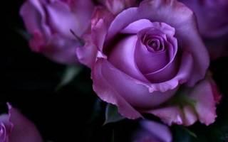 Фиолетовые розы на картинках выглядят очаровательно