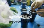 Особенности выращивания ранункулюса или лютика