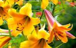 Трубчатые лилии trumpet условия выращивания