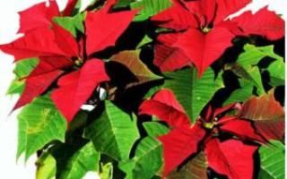 Как называется комнатный цветок с красными цветами и длинными листьями
