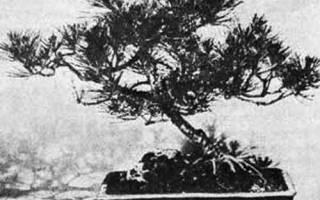 Граб в бонсаи укоренение упавшего дерева