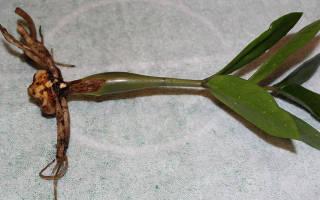 Долларовое дерево размножение листом