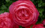 Роза россион описание
