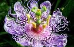Как выглядит комнатное растение пассифлора страстоцвет