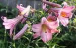 Цветение трубчатой лилии