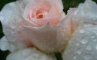 Нематода на флоксах форум садоводов твой сад