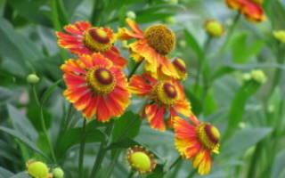 Цветы гелениума посадите в саду радость