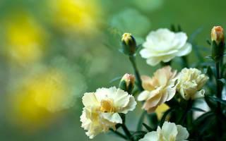 Гвоздика комнатная выращивание и уход