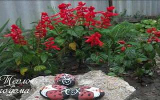 Описание цветка сальвии