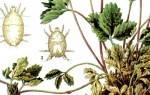 Возраст клубничной плантации