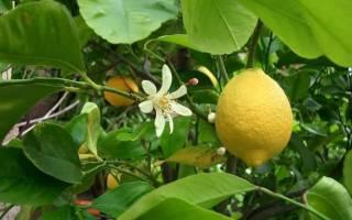 Вредители комнатного лимона и борьба с ними