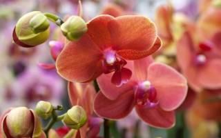 Как заставить орхидею фаленопсис цвести в домашних условиях