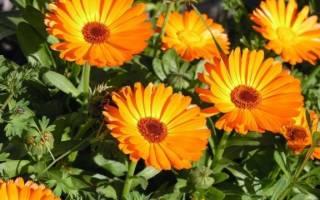 Календула украшение сада и польза для садовода
