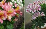 Цветы альстромерия фото и описание