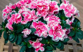Как правильно ухаживать за цветком азалия в домашних условиях