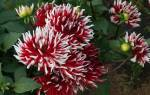 Кактусовая помпонная георгина и другие сорта георгин
