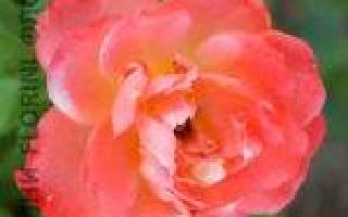 "Роза флорибунда ""самаритан""rosa rosa floribunda""samaritan"""
