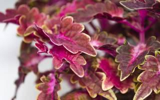Цветы колеус описание
