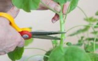 Виды обрезки комнатных растений