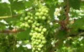 Зимовка комнатного винограда