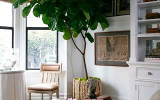 Выращивание комнатного инжира в домашних условиях