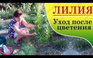 Уход за лилиями садовыми