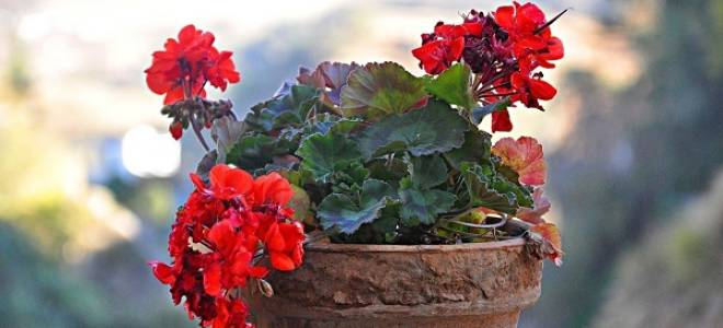 Герань уход в домашних условиях пересадка осенью