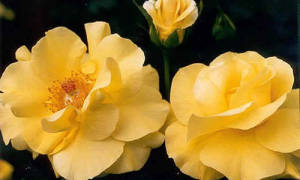 Роза голден шоверс