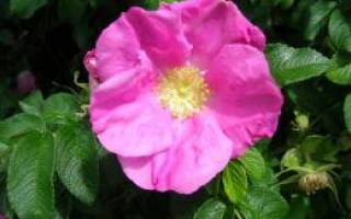 Шиповник и роза отличия