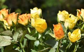 Роза сизая посадка и уход