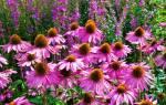 Эхинацея садовая многолетняя описание и выращивание цветка