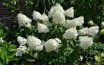 Гортензия метельчатая фантом красивый букет в саду