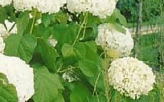 Гортензия древовидная нydrangea arborescens